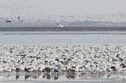 Rob Graham - Snow Geese on Ice