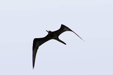 Magnificent Frigate Bird in flight