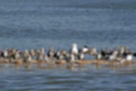 Shorebirds on a Small Oyster Bed