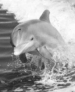 Dolphin Jumping in Boat Wake_edited.jpg
