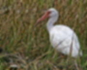 Whit Ibis Standing in High Grass in the