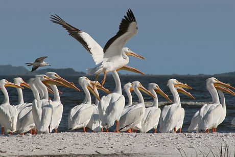 A Group of White Pelicans on a Sand Bar
