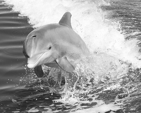 Dolphin Jumping in Boat Wake.jpg