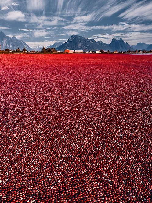 Red sea of cranberries