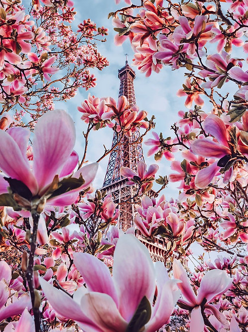 Magnolia Blossom in Paris