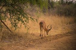 Antelops2