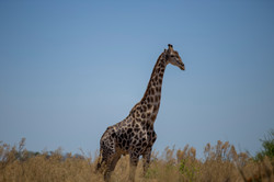 giraffe.1