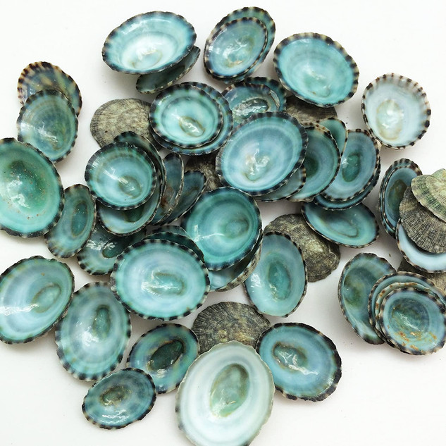 Green Impet Shells