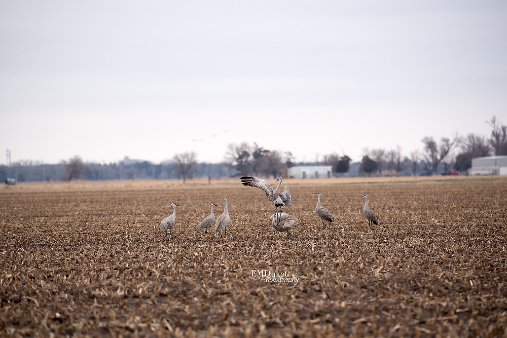 sandhill cranes leap and dance during spring migration in central Nebraska