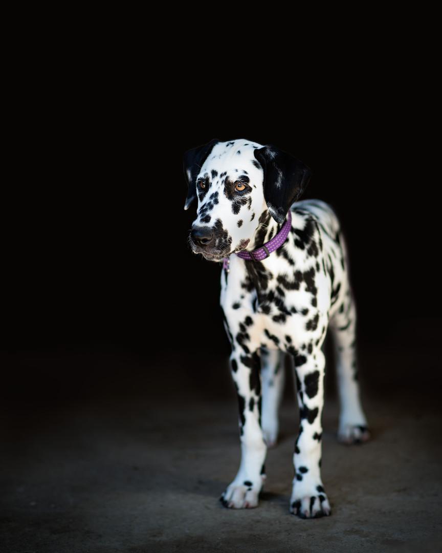 Dalmatian-pet-photography-gretna-nebrask