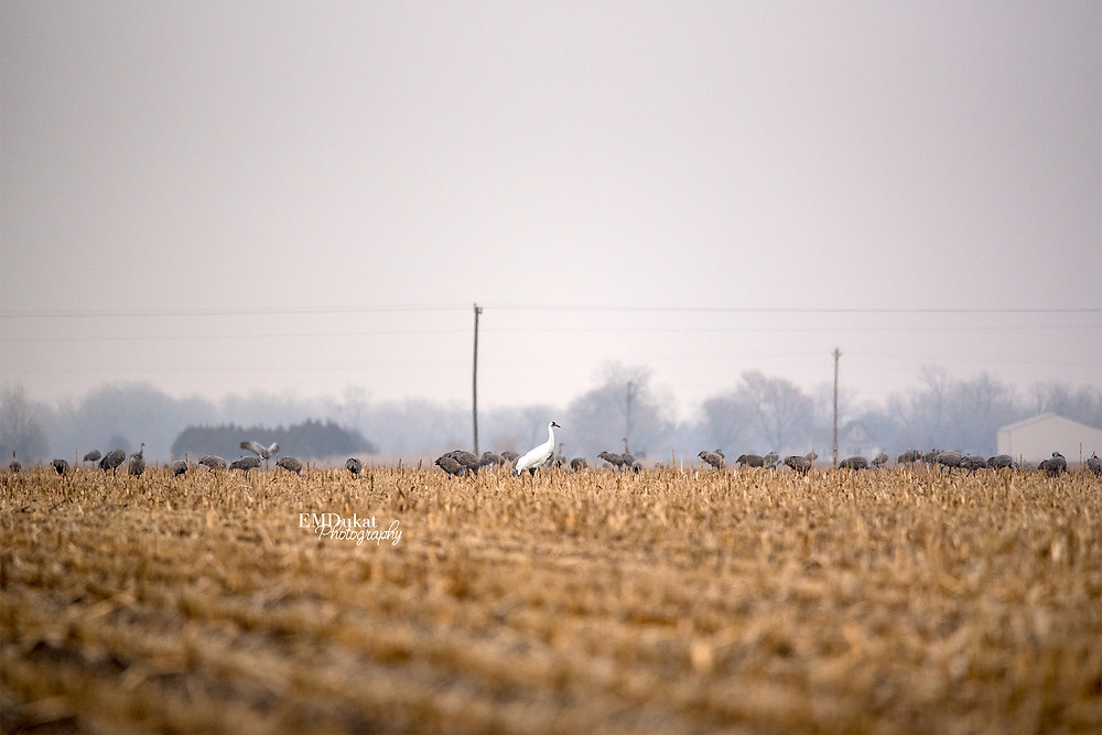 whooping crane in cornfield during spring migration in Central Nebraska