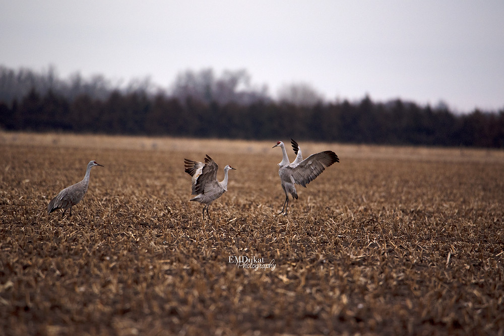 sandhill cranes dance during spring migration in central Nebraska.