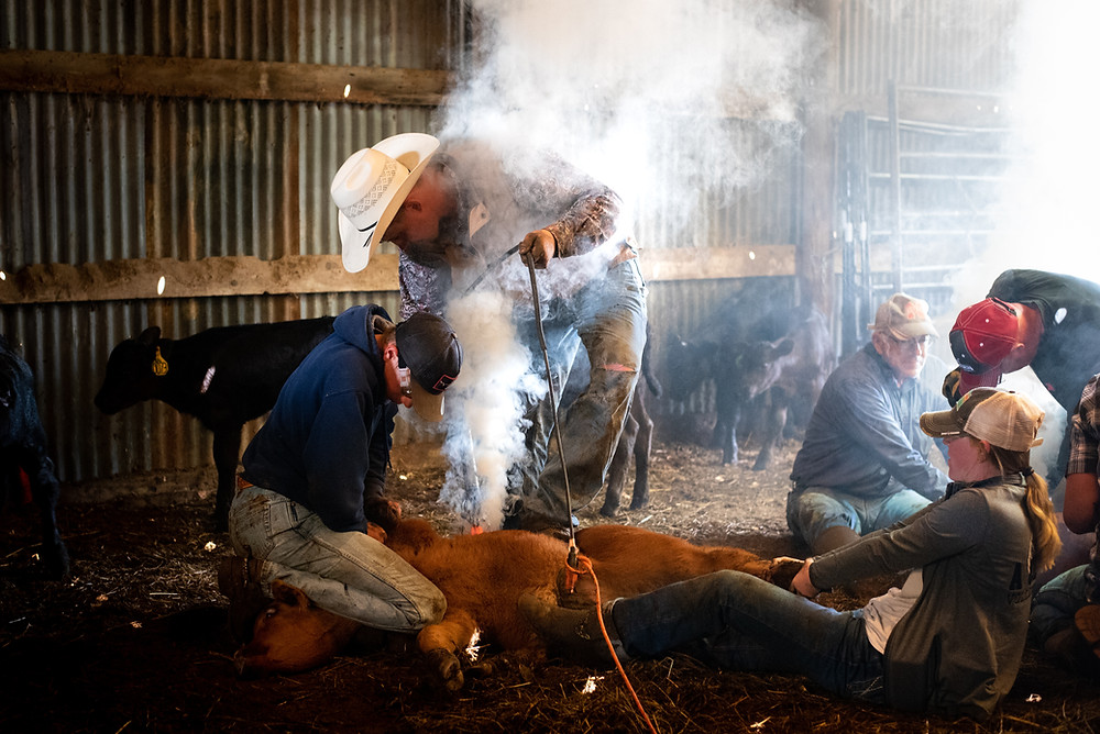 calf being hot branded in a shed during a muddy spring
