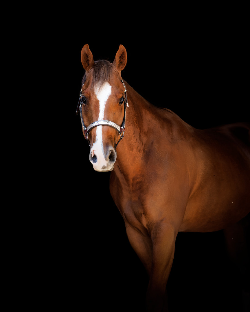 PR-Corona-King-aqha-gelding-gretna-nebraska-equine-photographer