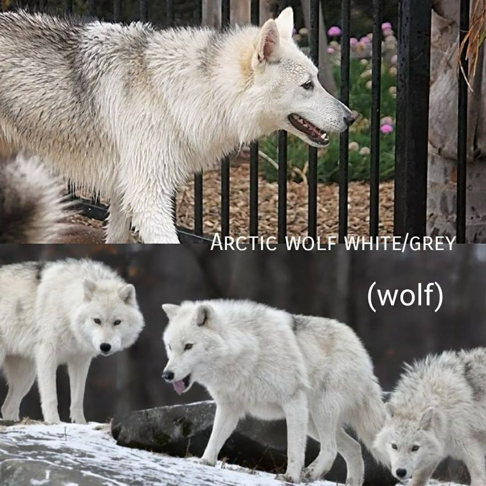 Arctic Wolf White/Grey