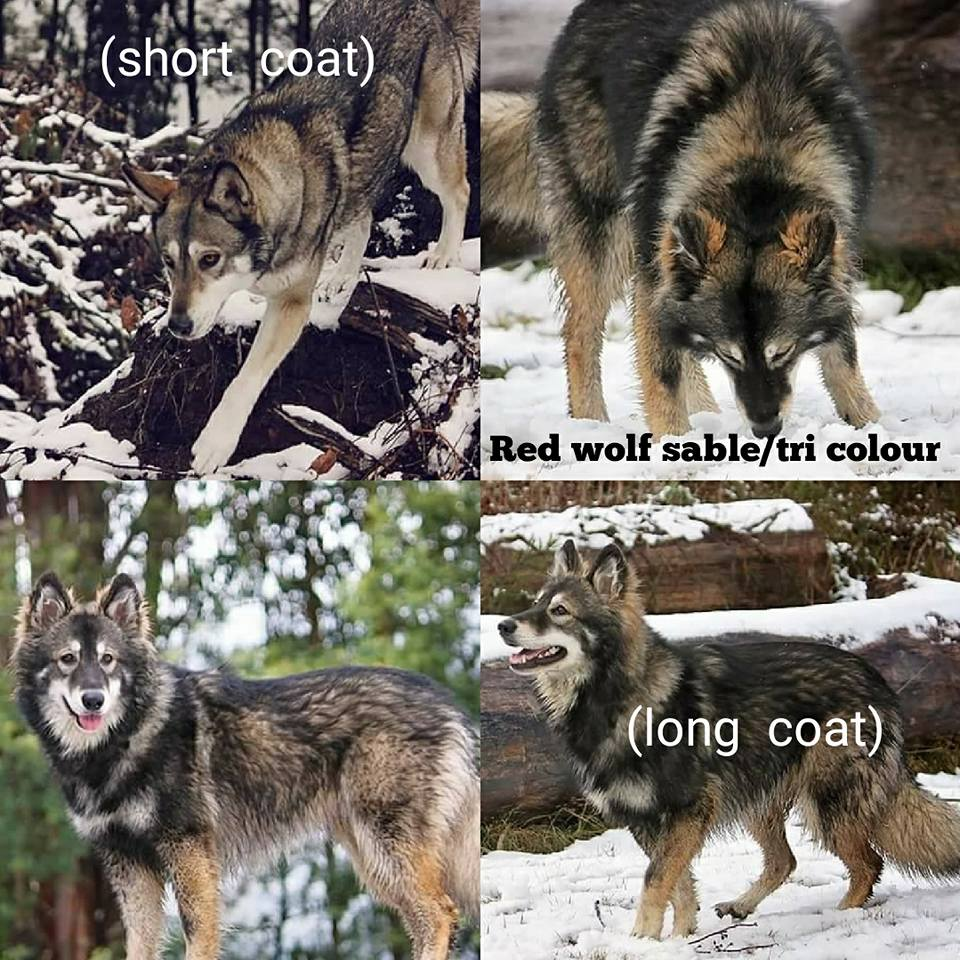 Red Wolf Sable/Tri Colour