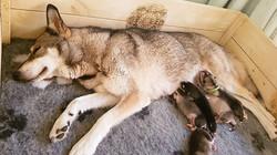 Neva feeding her pups 2017