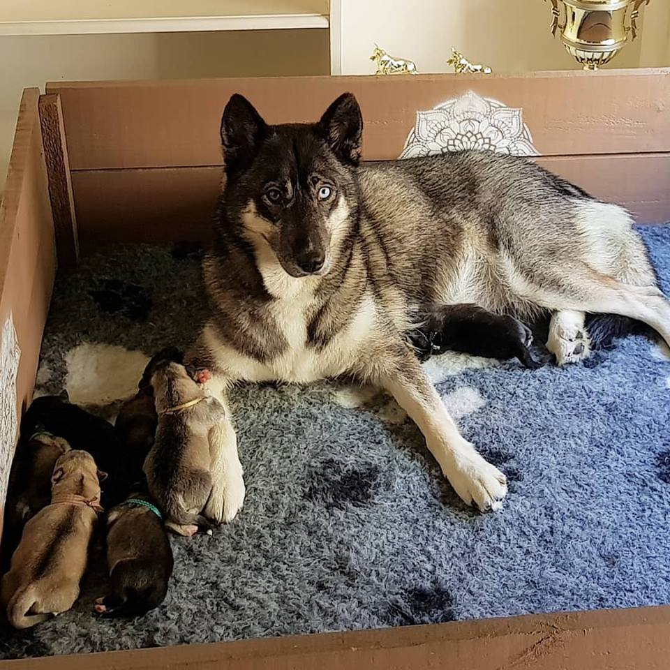 Lyka and her litter 2018