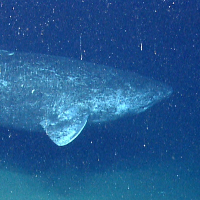 Public domain photo of the Greenland shark in the water swimming.