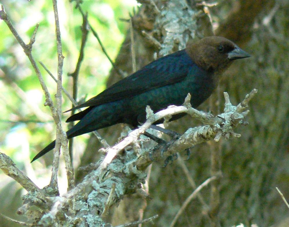 Public domain photo of a brown-headed cowbird.