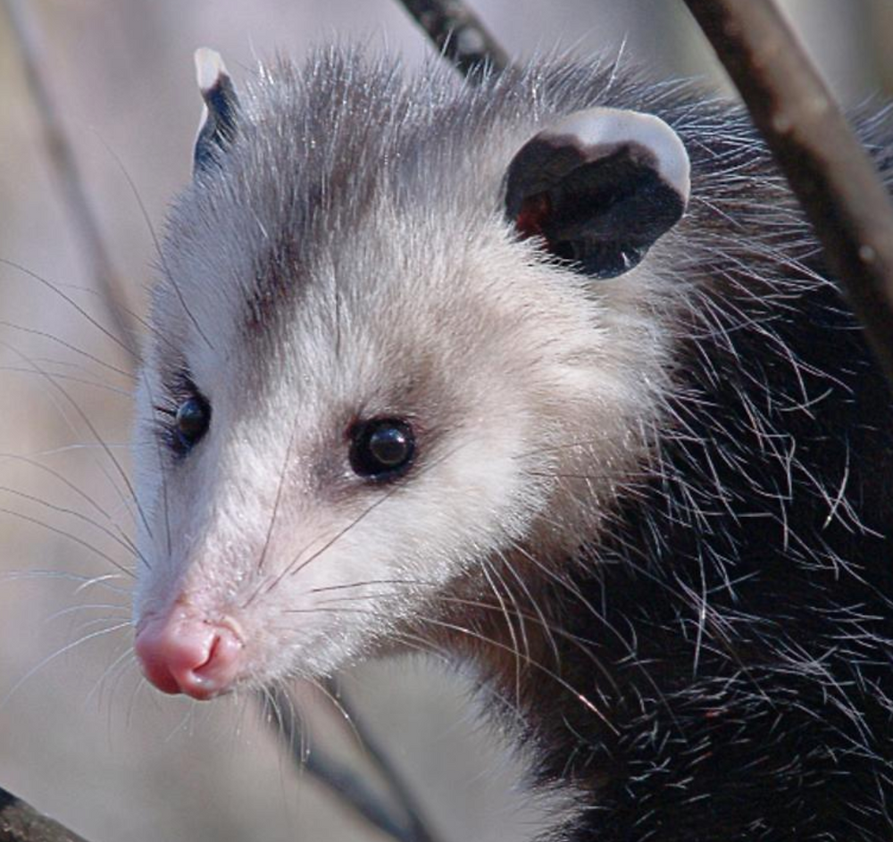 Public domain photo of an opossum in a tree, looking very cute.