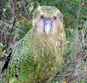 Sirocco the kakapo looking great! Public domain photo.