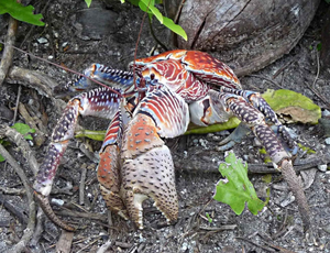 Public domain photo of a huge coconut crab in the wild.