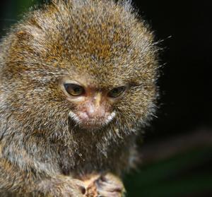 Public domain photo of a cute pygmy marmoset.