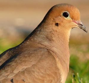 Mourning dove HD public domain photo.