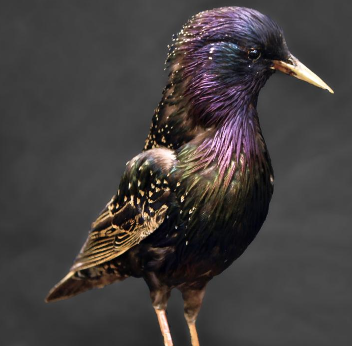 Public domain photo of a European starling looking very iridescent.
