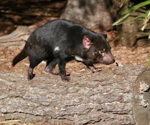 Tasmanian devil looking unusually cute, walking on a log. Public domain photo.