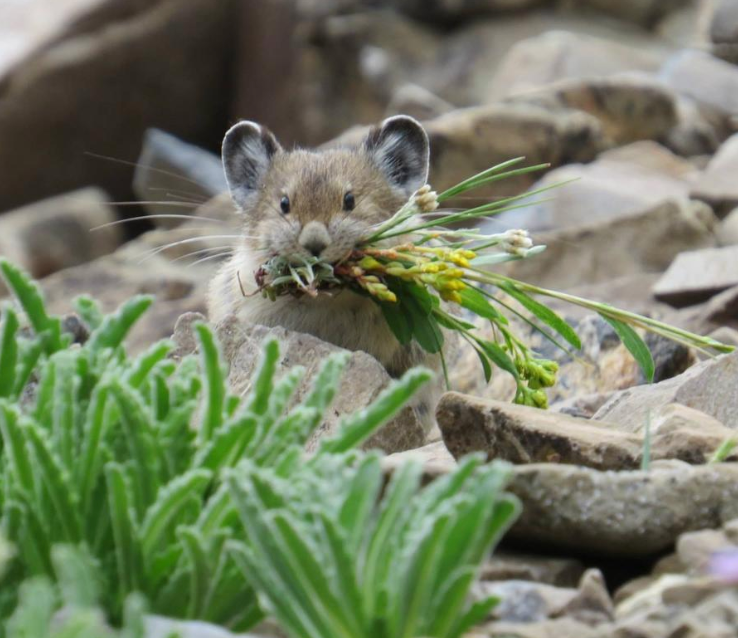 American pika looking extremely cute. Public domain photo.