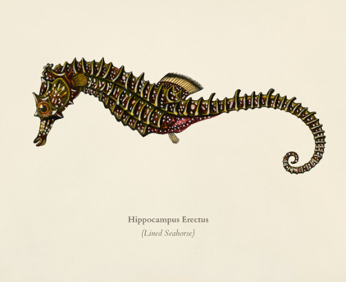 Hippocampus erectus drawing. Public domain.