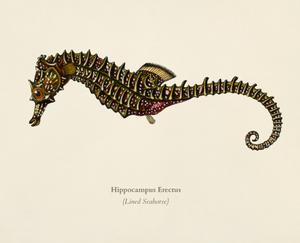 Hippocampus erectus drawing. Public domain.