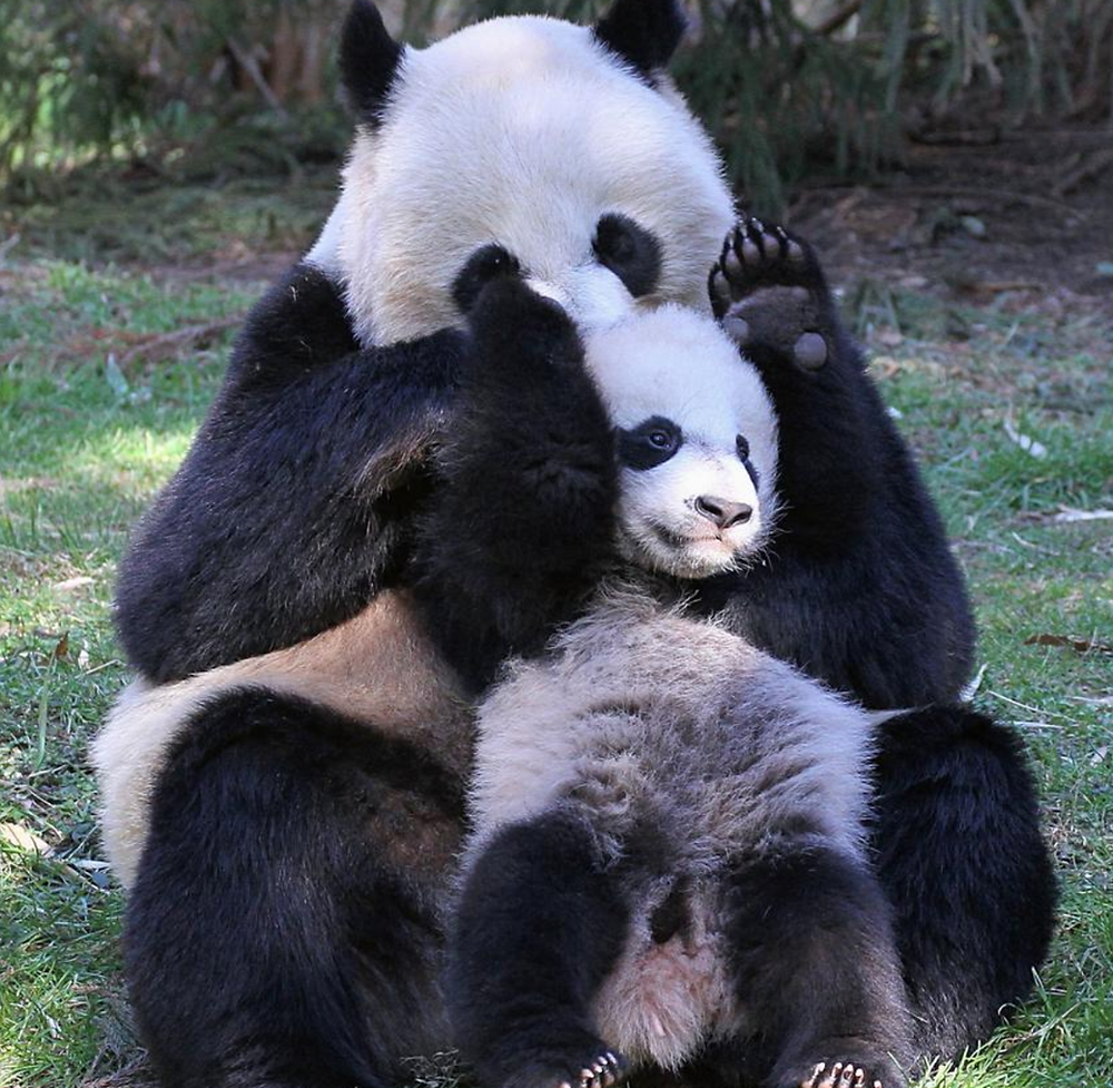 Public domain photo of a giant panda mom playing with her adorable baby panda cub.