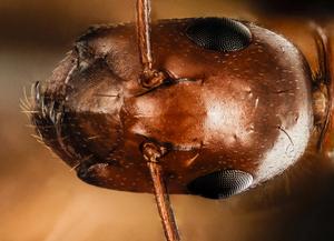 Ant face public domain photo.