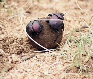 Public domain photo of two dung beetles on a dung ball.