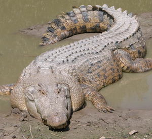 Saltwater crocodile public domain photo