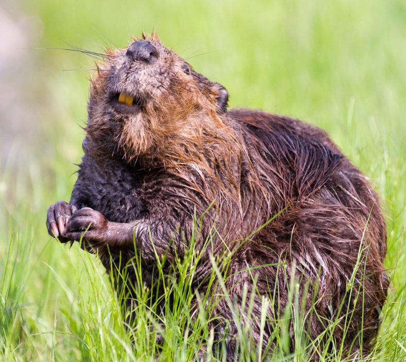 Public domain photo of a beaver looking cute, you can see their iron teeth.