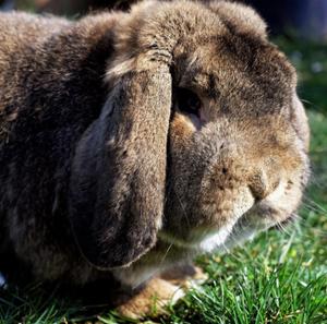 adorable floppy-eared bunny rabbit public domain.