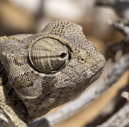 Public domain photo of Namaqua chameleon.