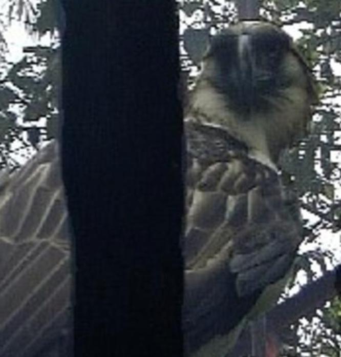 A public domain photo of the rare Philippine eagle.