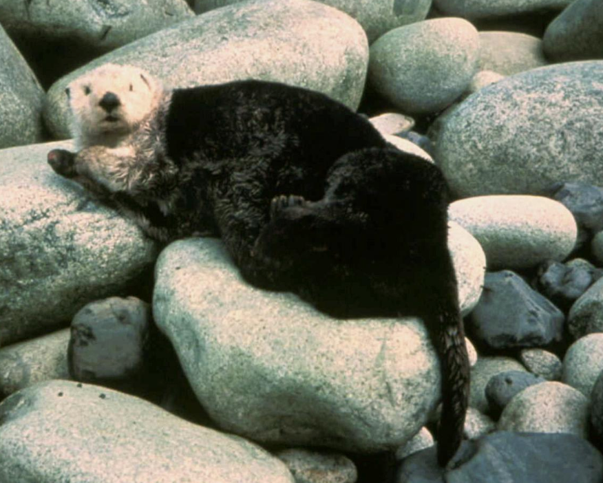 Public domain photo of a sea otter on land