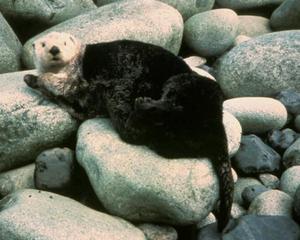 Public domain photo of a sea otter on land