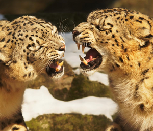 Snow leopards fighting, public domain photo.