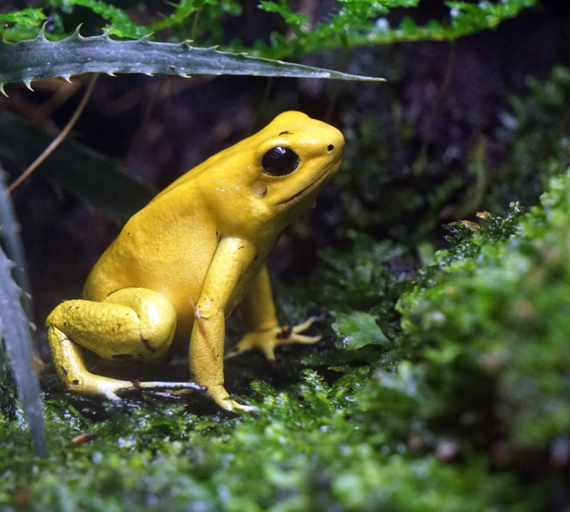 Public domain image of a poison dart frog.