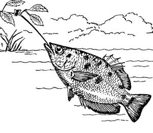Public domain drawing of the archerfish.