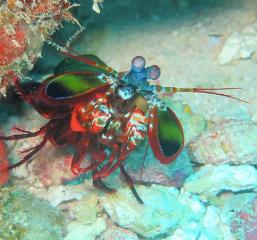 Public domain photo of the peacock mantis shrimp.