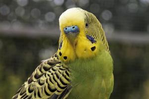 Public domain photo of a yellow budgerigar.