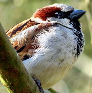 HD house sparrow photo, public domain.